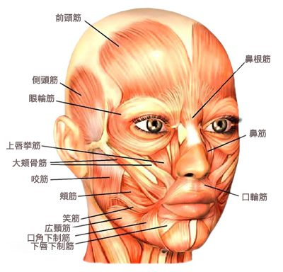 image-facialmuscle